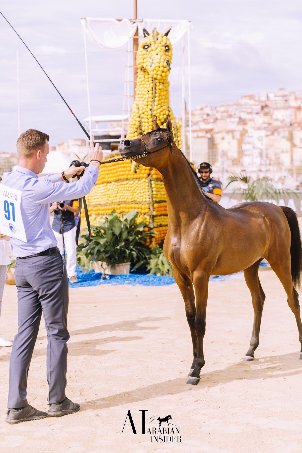 Championnat pur-sang Arabe 2018 - Crédit : Menton Arabian Horse Show